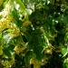 sweet-limeflowers
